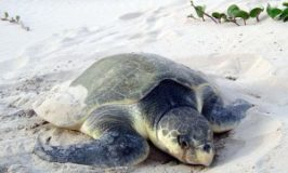 Warmer Water Trapping Turtles on Texas Coast